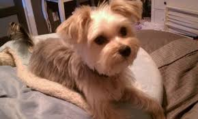 haircut for morkies ideas about morkie hairstyles shoulder length hairstyles