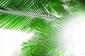 palm leaves for palm sunday palm leaves background beautiful tree palm sunday stock image