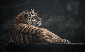 cat tiger predator look back wallpaper animals