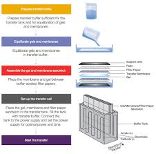 western blot transfer methods thermo fisher scientific