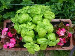basilico in vaso malattie foglie gialle nel basilico cause e soluzioni garden4us