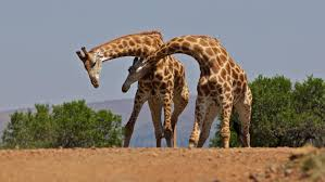 how many bones are in a giraffe u0027s neck reference com