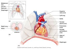 Heart Anatomy And Function Heart A U0026p