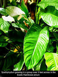 List Of Tropical Plants Names - caring for spathiphyllum species and hybrids proper care for