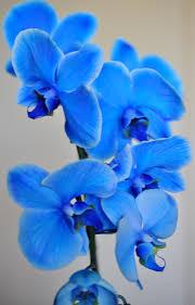 Blue Orchid Flower Blue Mystique U0027 Orchid Blue U0026 Purple Flowers Pinterest