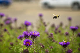 native iowa plants you can help bees by adding native plants startribune com