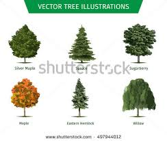blue spruce tree stock images royalty free images vectors