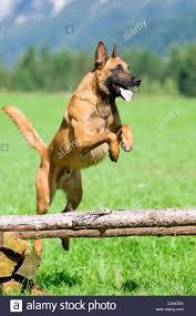 belgian sheepdog houston tx malinois stock photos u0026 malinois stock images alamy