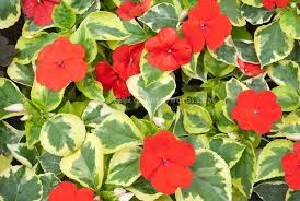 Foliage Flower - variegated plants leaves stock photos images plant u0026 flower