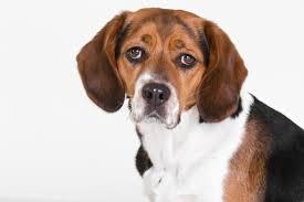 nettoyer pipi de chien sur canapé comment enlever l odeur et les taches d urine de chien