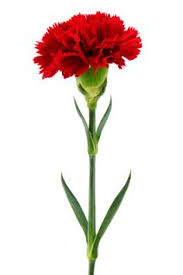 Red Carnations To Make The Refusal In A Polite Way The Striped Carnation Flowers