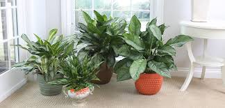 chinese evergreen costa farms