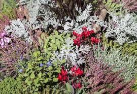 gartenwelt emsbüren winterharte eisblumen delosperma congesta