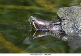 ornamental tortoise stock photos ornamental tortoise stock