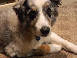 australian shepherd with cats owner of dog found bound in east bay canal calls death u0027sick