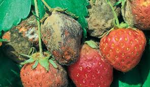 Strawberry Plant Diseases - soft fruit pest u0026 diseases