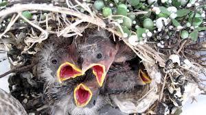 Backyard Birds Utah Baby Birds Utah House Finch Youtube