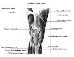 Anatomy Of Knee Injuries Knee Anatomy Pictures Bones Ligaments Muscles Tendons Function
