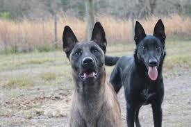 belgian malinois for sale akc black belgian malinois stud for sale in hoobly classifieds