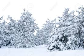 snow covered spruce christmas forest of christmas trees isolated