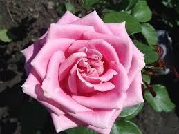 unusual rose flower garden photos photos garden and landscape