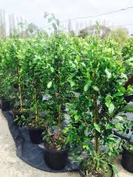 best australian native hedge plants screening plants for privacy