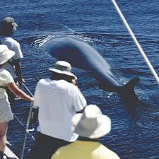 whale and dolphin watching azores dolphin and whale connection