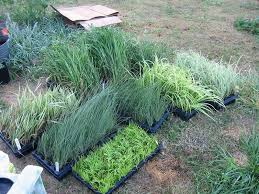anyone growing grasses from plugs