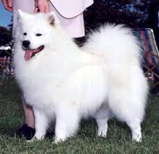 american eskimo dog odor american eskimo for sale
