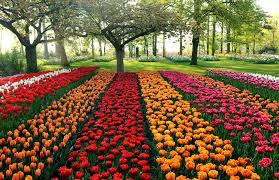 the tulip fields of holland tulip fields holland and south holland