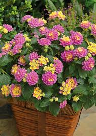 Long Blooming Annual Flowers - 24 best drought tolerant plants that grow in lack of water