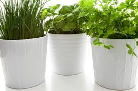 erba cipollina in vaso coltivare l erba cipollina in vaso pollicegreen