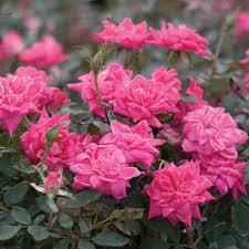 Roses For Sale Knock Out Roses For Sale Fast Growing Trees