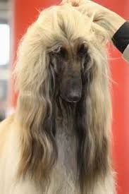 afghan hound rescue england igp4708 jpg photos afghans and heroes
