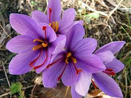fall blooming flowers amazon com saffron crocus 10 bulbs rare spice fall blooming
