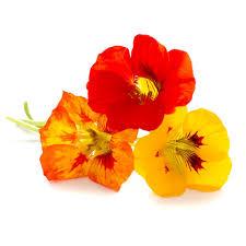 nasturtium flower nasturtium flower ingredient