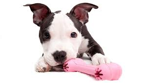 american pitbull terrier breeders st louis in missouri pit bulls are banned in 86 municipalities dog lovers