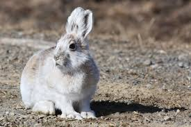 Spring Colors 7 Animals That Turn White In Winter Britannica Com