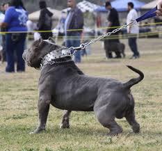 american pitbull terrier kennels in michigan xxl blue pitbulls biggest pitbull puppies kennel