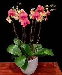 orchid plants coral phalaenopsis orchid plants 6 spikes flowers