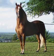 mustang horse stallion wikipedia