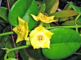 usda native plants astephana