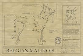 belgian sheepdog history belgian malinois drawing animal blueprint company