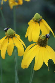 native louisiana plants 72 best native perennials at plant more natives images on