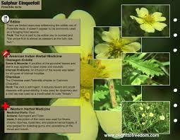 edible native plants sulphur cinquefoil edible u0026 medicinal plight to freedom