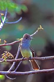 great crested flycatcher wikipedia