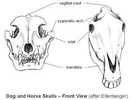 Dog Anatomy Front Leg Emg Zine Basic Animal Anatomy