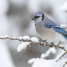 77 best winter wildlife images on pinterest animals nature and