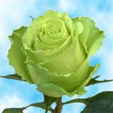 green roses varieties global