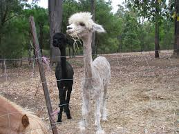 haircut day comes for the alpacas